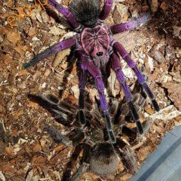 männliche Spinnen