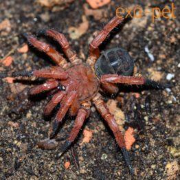 sonstige Spinnen