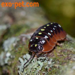 Asseln, Millipedes & Centipedes
